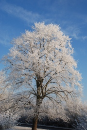 lime-tree_14623804191_o